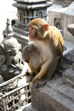 Hindu Rhesus Monkey - Nepal. Wild Rhesus Monkey at Swayambhu, Nepal. The temple is also know as the Monkey Temple Royalty Free Stock Image
