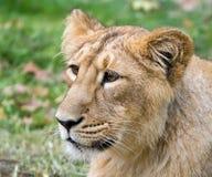 hindus lion2 Zdjęcia Royalty Free
