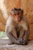 hindus małpa Zdjęcia Stock
