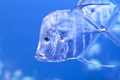 hindus rybia nić Zdjęcia Stock