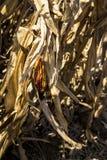 hindusi kukurydziany Zdjęcie Royalty Free
