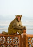 hindusi małpa Fotografia Stock