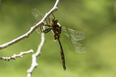 Hine的鲜绿色蜻蜓 免版税图库摄影
