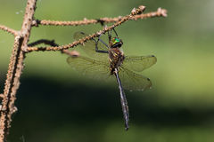 Hine ` s σμαραγδένιο Dargonfly Στοκ Εικόνα