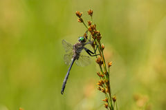 Hine ` s σμαραγδένιο Dargonfly Στοκ Φωτογραφία