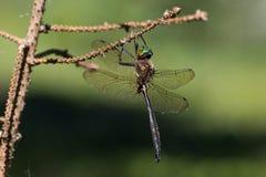 Hine ` s绿宝石Dargonfly 库存图片
