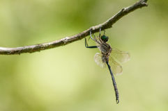 Hine's Emerald. Dragonfly hanging from a branch stock photography