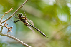 Hine's Emerald. Dragonfly hanging from a branch royalty free stock image