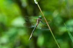 Hine's Emerald. Dragonfly hanging from a plant royalty free stock image