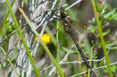 Hine's Emerald. Dragonfly hanging from a plant royalty free stock photo