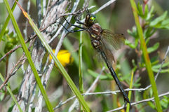 Hine's Emerald. Dragonfly hanging from a plant stock photo