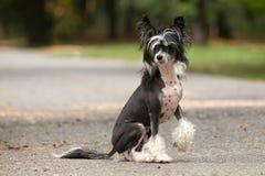 Hinese Crested  Dog Royalty Free Stock Image