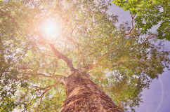 Hing tree with sunlight Stock Image