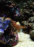 Hinge beak shrimp Royalty Free Stock Photo
