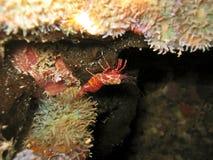 Hingebeak Shrimp Royalty Free Stock Photos