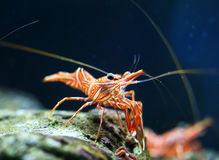 Hingebeak Shrimp Stock Photography