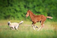 Hingstföl och hund royaltyfri bild