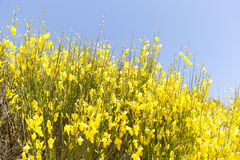 Hiniesta在有它的黄色花的春天 免版税库存照片
