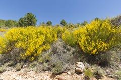Hiniesta au printemps avec ses fleurs jaunes image stock