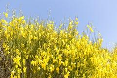 Hiniesta in primavera con i suoi fiori gialli Fotografie Stock Libere da Diritti