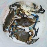Hink för blå krabba Arkivfoto