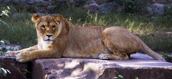 Hinlegende und stillstehende Löwin Raub Stockbild