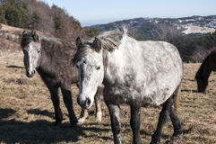 Hinnies on winter meadow. Highland hinnies grazing on winter mountain meadow in clear sunny day Royalty Free Stock Images