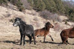 Hinnies on winter meadow Stock Photos