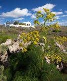 Hinojo gigante canario - lancerottensis de la férula Fotografía de archivo