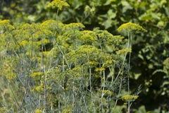 Hinojo que crece en la cama vegetal Imagenes de archivo