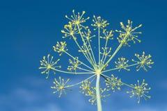 Hinojo sobre el cielo azul Imagen de archivo libre de regalías