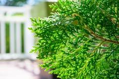 Hinoki cypress Fotografering för Bildbyråer