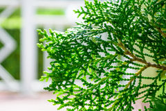 Hinoki cypress Royaltyfri Bild