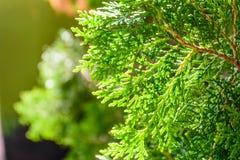 Hinoki cypress Royaltyfria Foton