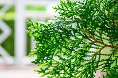 Hinoki cypress Royalty Free Stock Image