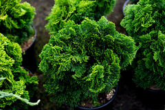 Hinoki cypress Royalty Free Stock Photo