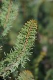 Hinoki cypress Teddy Bear stock photography