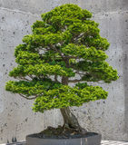 Hinoki False Cypress Bonsai Royalty Free Stock Photography