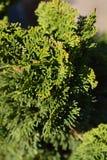 Hinoki-Zypresse Nana Gracils stockbilder