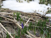 Hint of Spring - Crocuses peaking through the ground Stock Photography