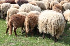 hinter der Herde stockfotos