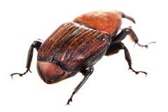 Hinter einem roten Rüsselkäfer Stockbild