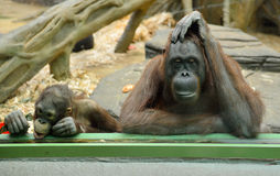 Hinter Glas. Orang-Utans im Moskau-Zoo Lizenzfreies Stockfoto