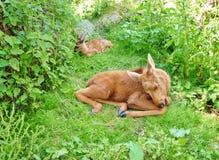 Hinter mit calf-3 Lizenzfreie Stockfotografie