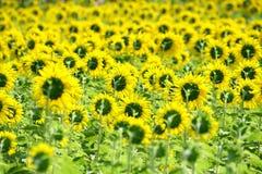 Hinter Sonnenblumefeld Stockfotos