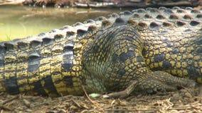 Hinterbein und mittlerer Abschnitt des Krokodils stock video footage