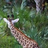 Hintere Ansicht der Giraffe Stockfotos
