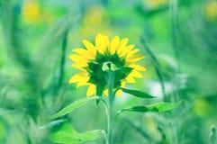 Hintere Ansicht der Sonnenblume Lizenzfreie Stockfotos