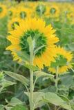 Hintere Ansicht der Sonnenblume Lizenzfreie Stockfotografie