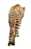 Hintere Ansicht des gehenden Leoparden Stockbilder